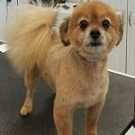 Pomeranian groomed at K9 Resort and Spa