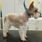 Schnauzer groomed at K9 Resort and Spa