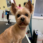 Yorkie groomed at K9 Resort and Spa